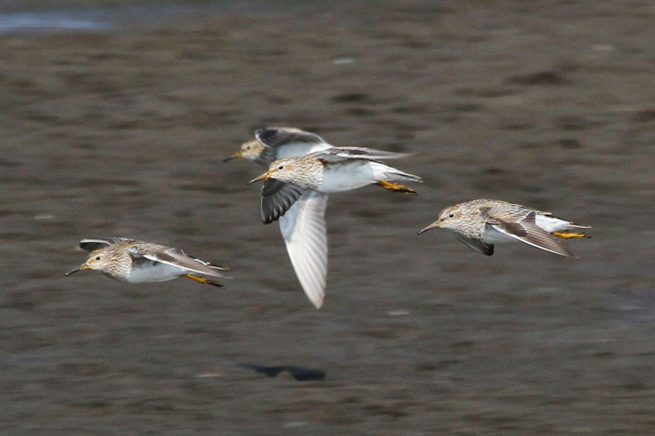 Four Pectoral Sandpipers in flight.