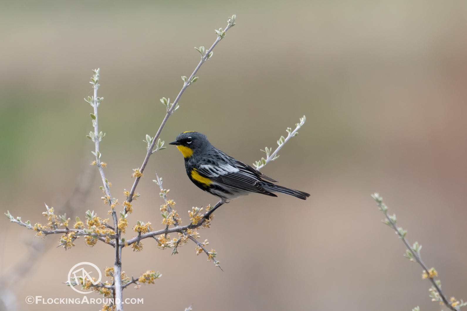 Adult Male Audubon's Yellow-rumped Warbler near Casper, Wyoming.