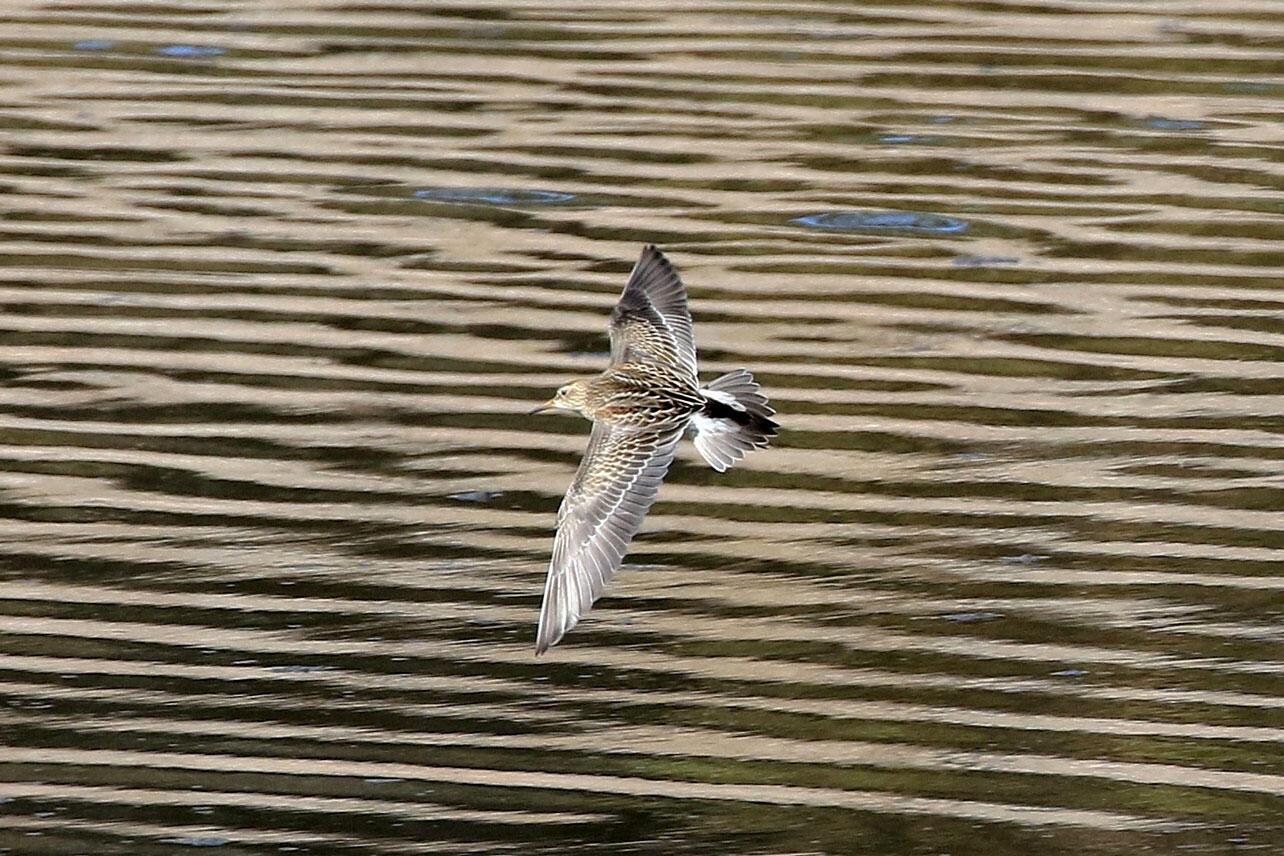 Pectoral Sandpiper flies over water.