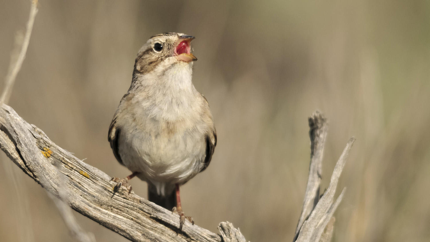 Brewer's Sparrow.
