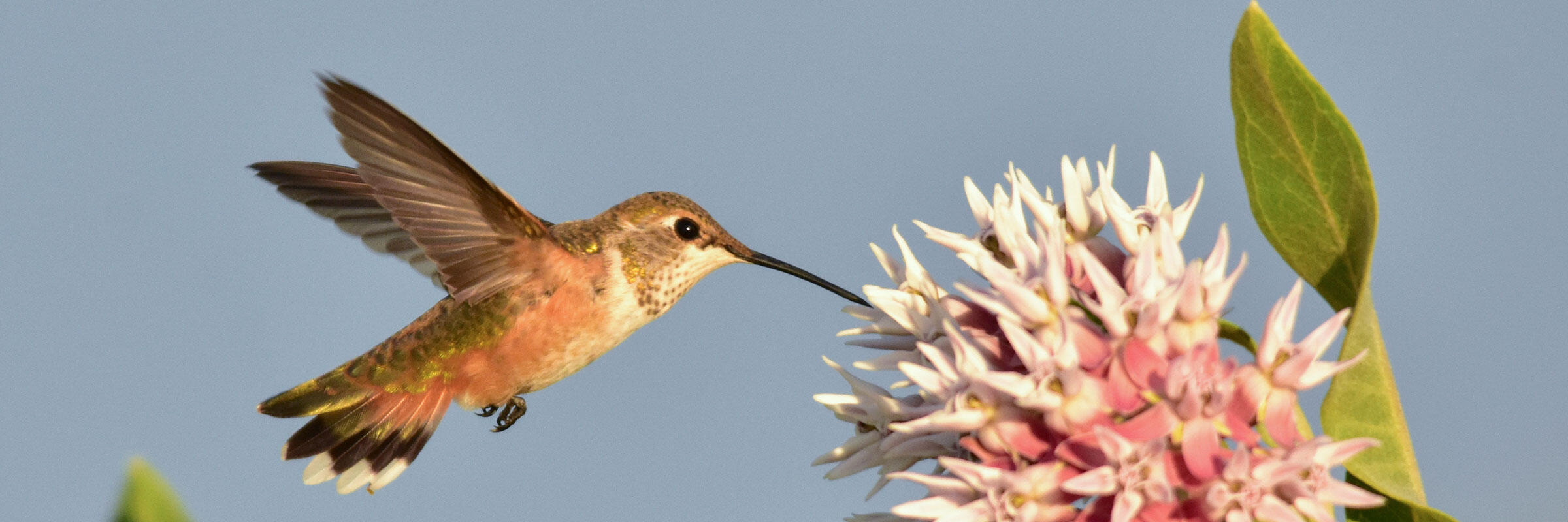 A Rufous Hummingbird drinks nectar from a Showy Milkweed.
