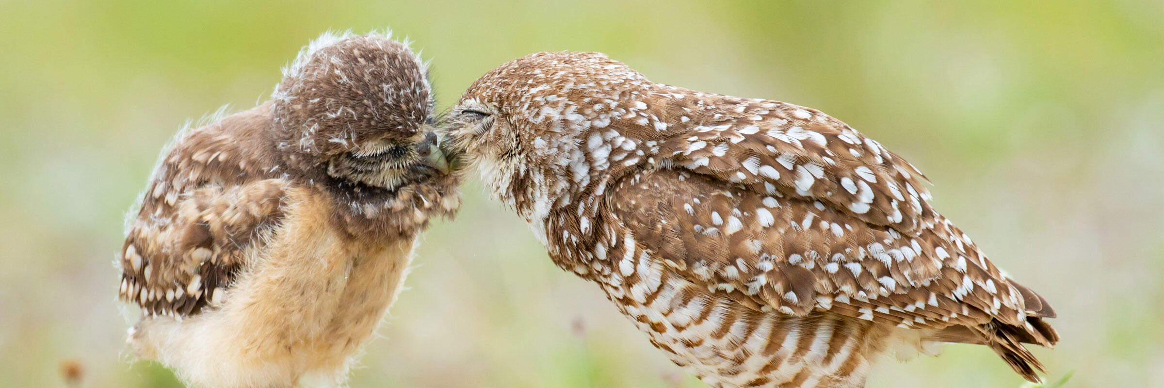 A juvenile Burrowing Owl is fed by its parent.