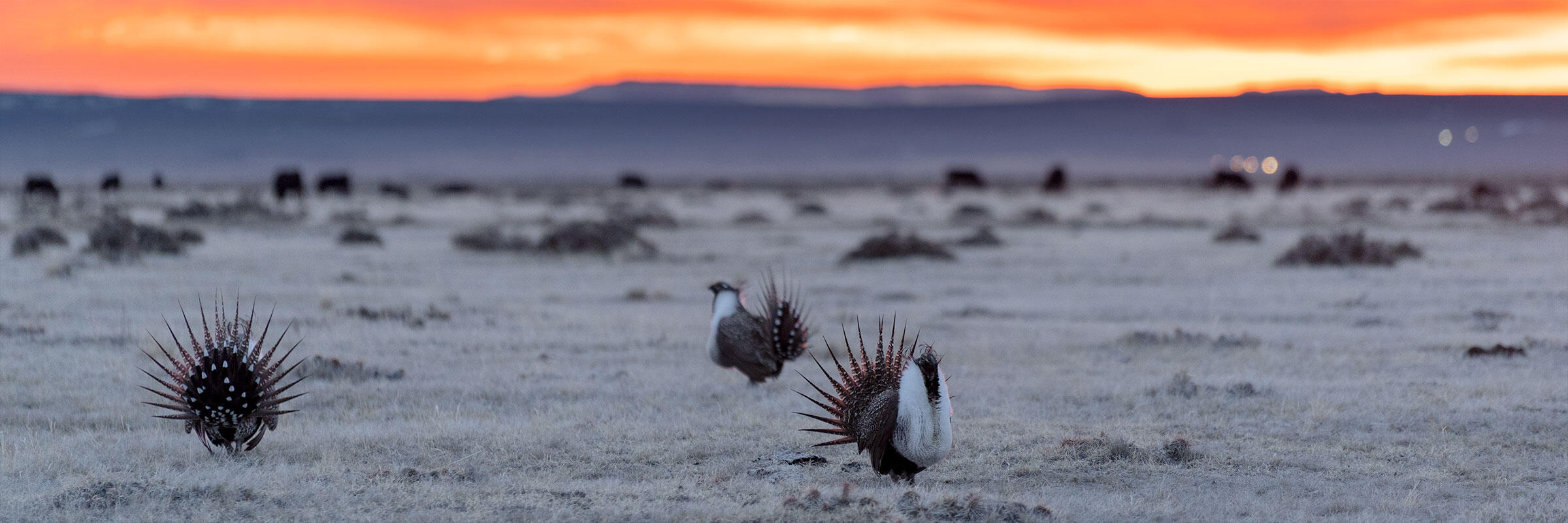 Greater Sage-Grouse display at sunrise.