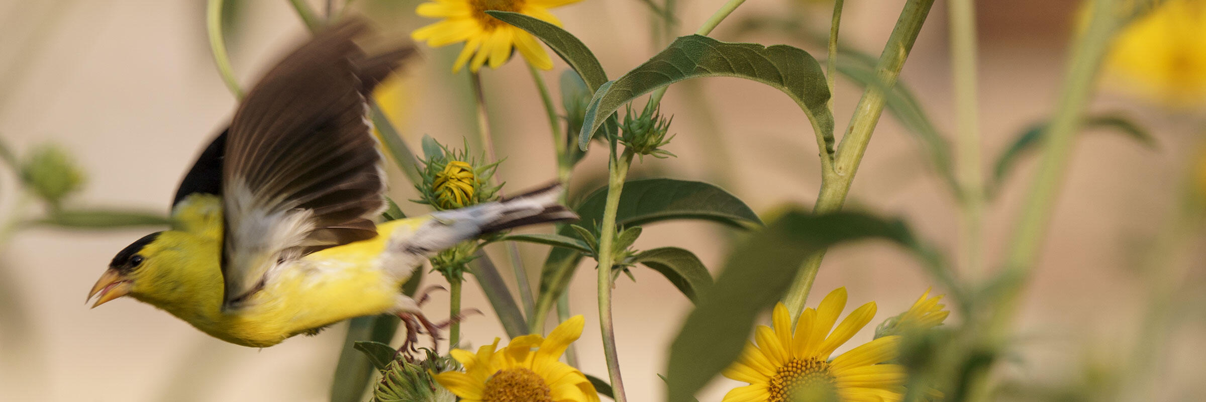 A male American Goldfinch takes flight from an annual sunflower plant.
