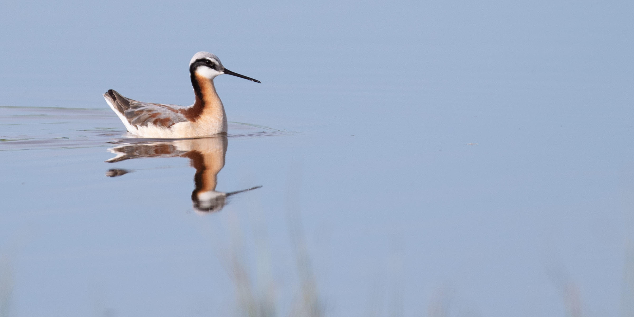 Wilson's Phalarope on Rockin' 7 Ranch, certified by Audubon's Conservation Ranching Initiative.