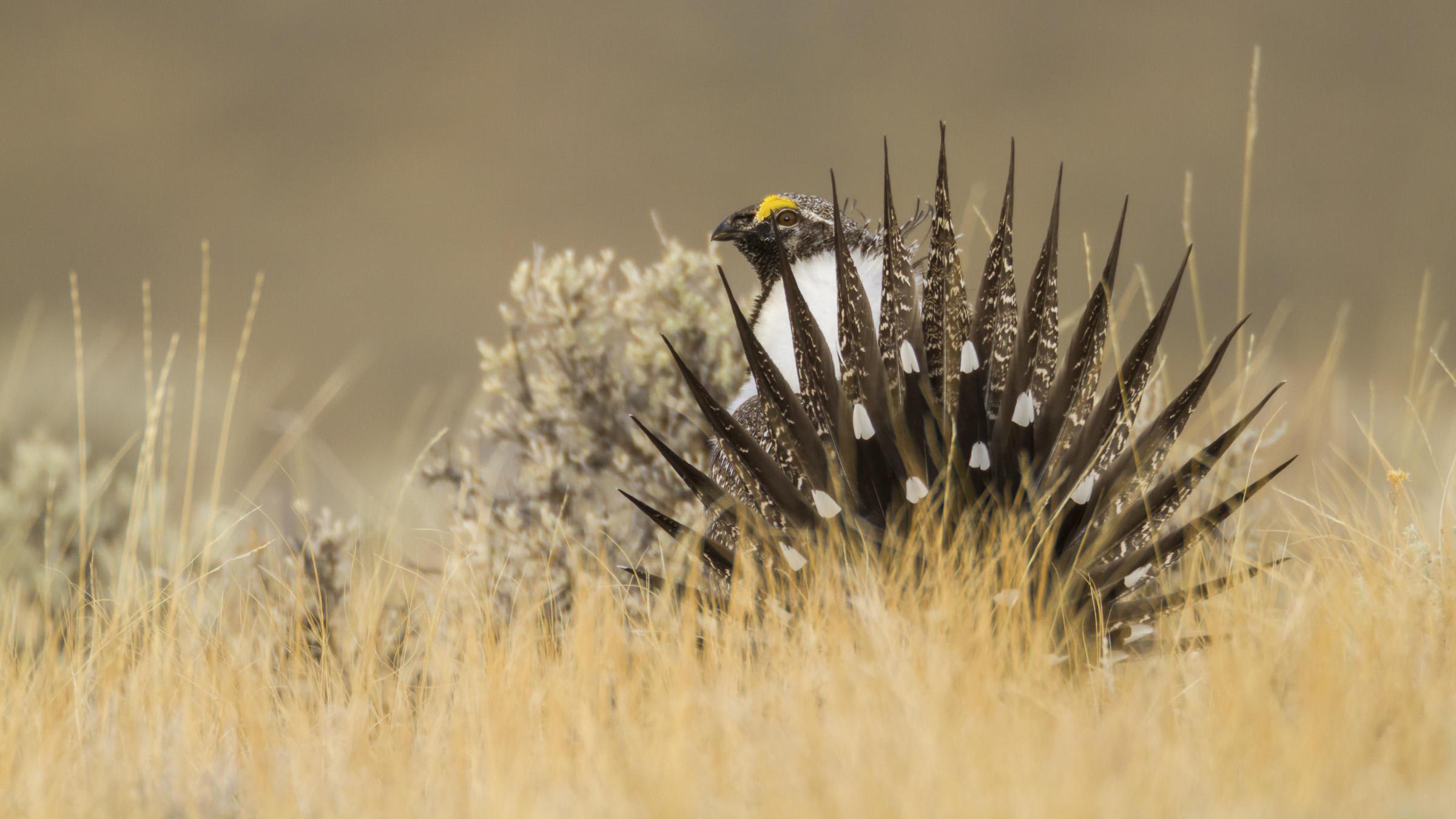 Greater Sage-Grouse Sagebrush Ecosystem Initaitive Audubon Rockies