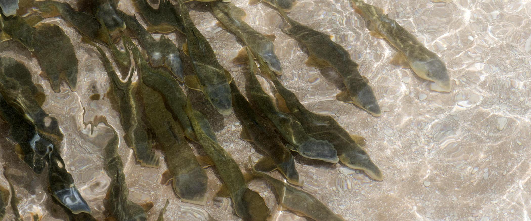 Colorado River Fish Audubon Rockies