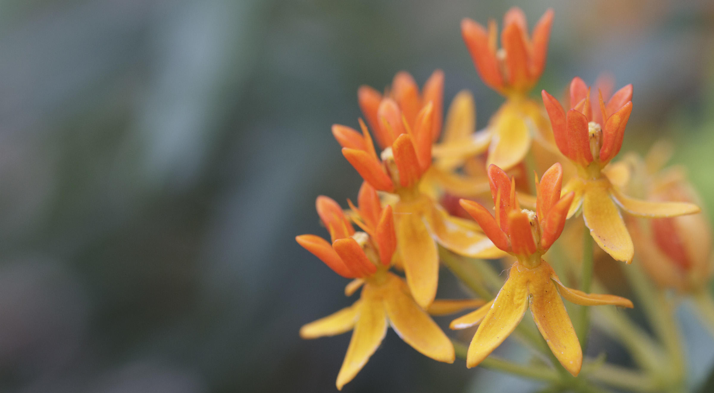 Butterfly milkweed (Asclepias tuberosa).