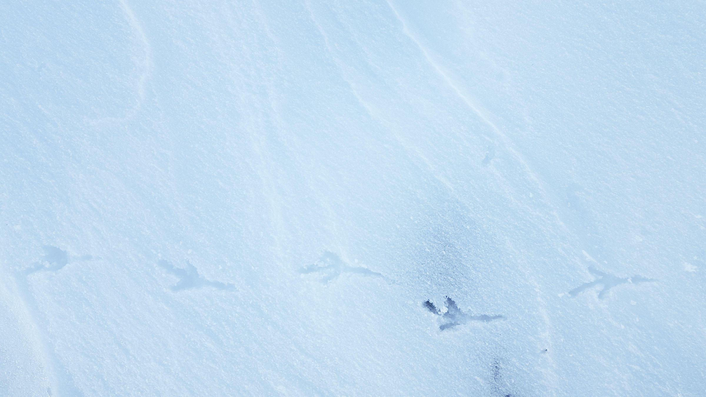 Western Meadowlark tracks.