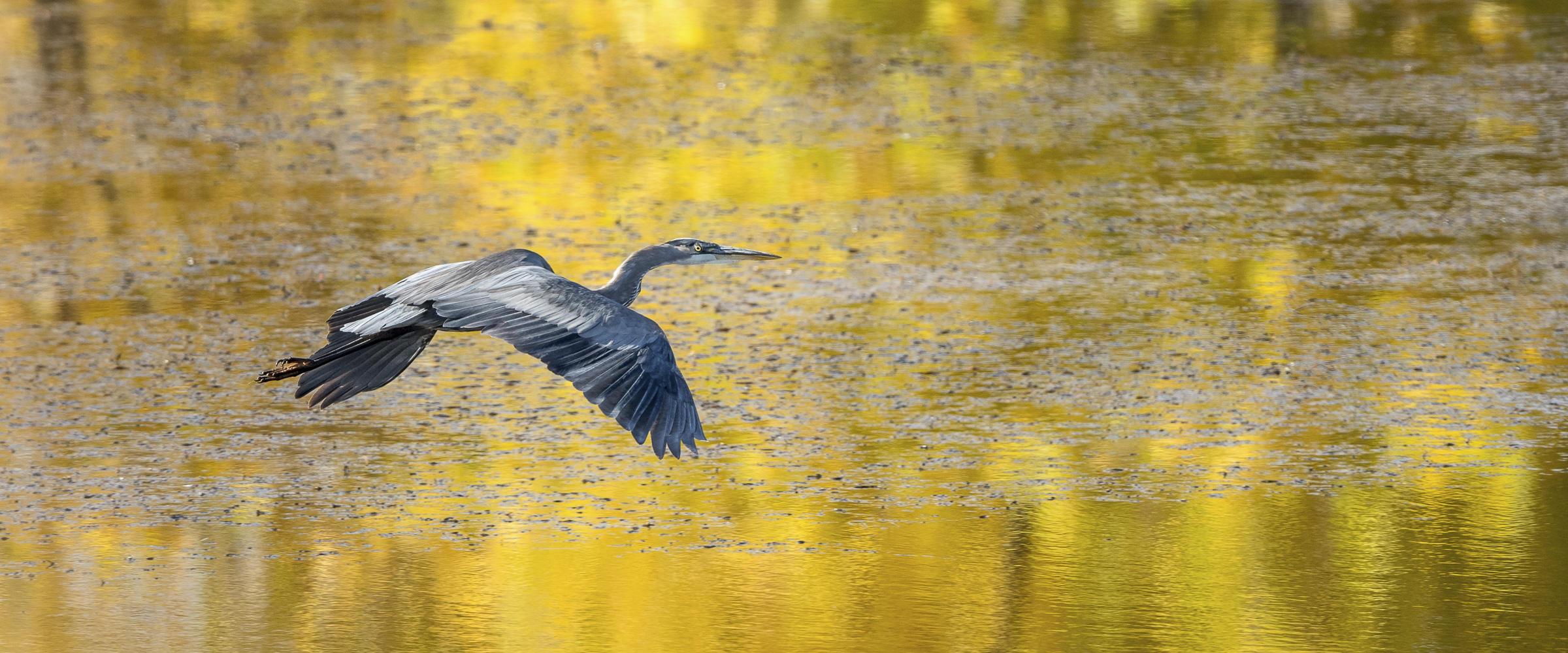 Great Blue Heron Audubon Rockies Western Rivers Initaitive