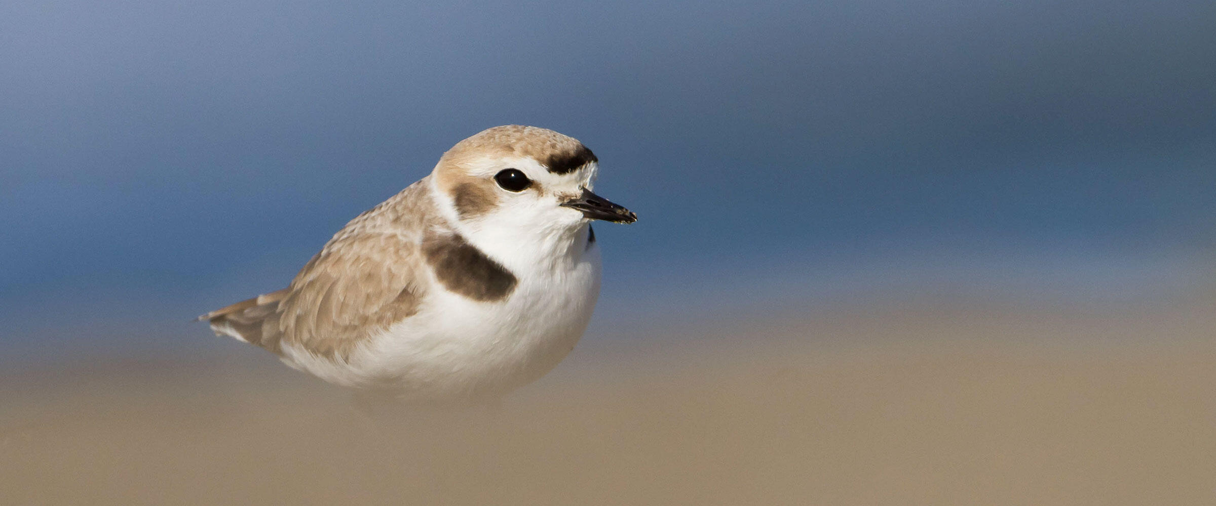 A Snowy Plover stands in front of water with a blurry brown foreground.