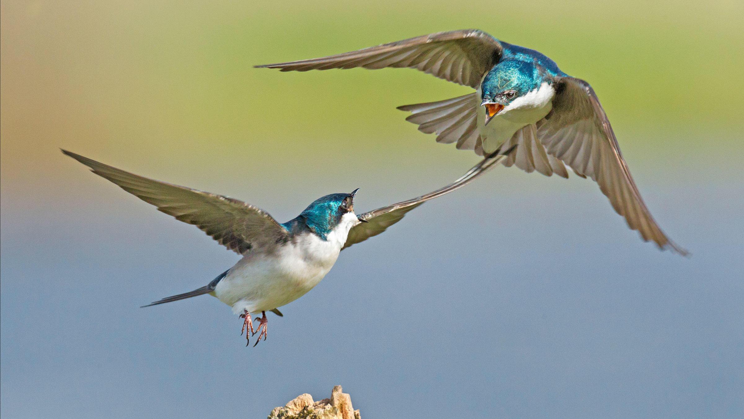 Tree Swallows.