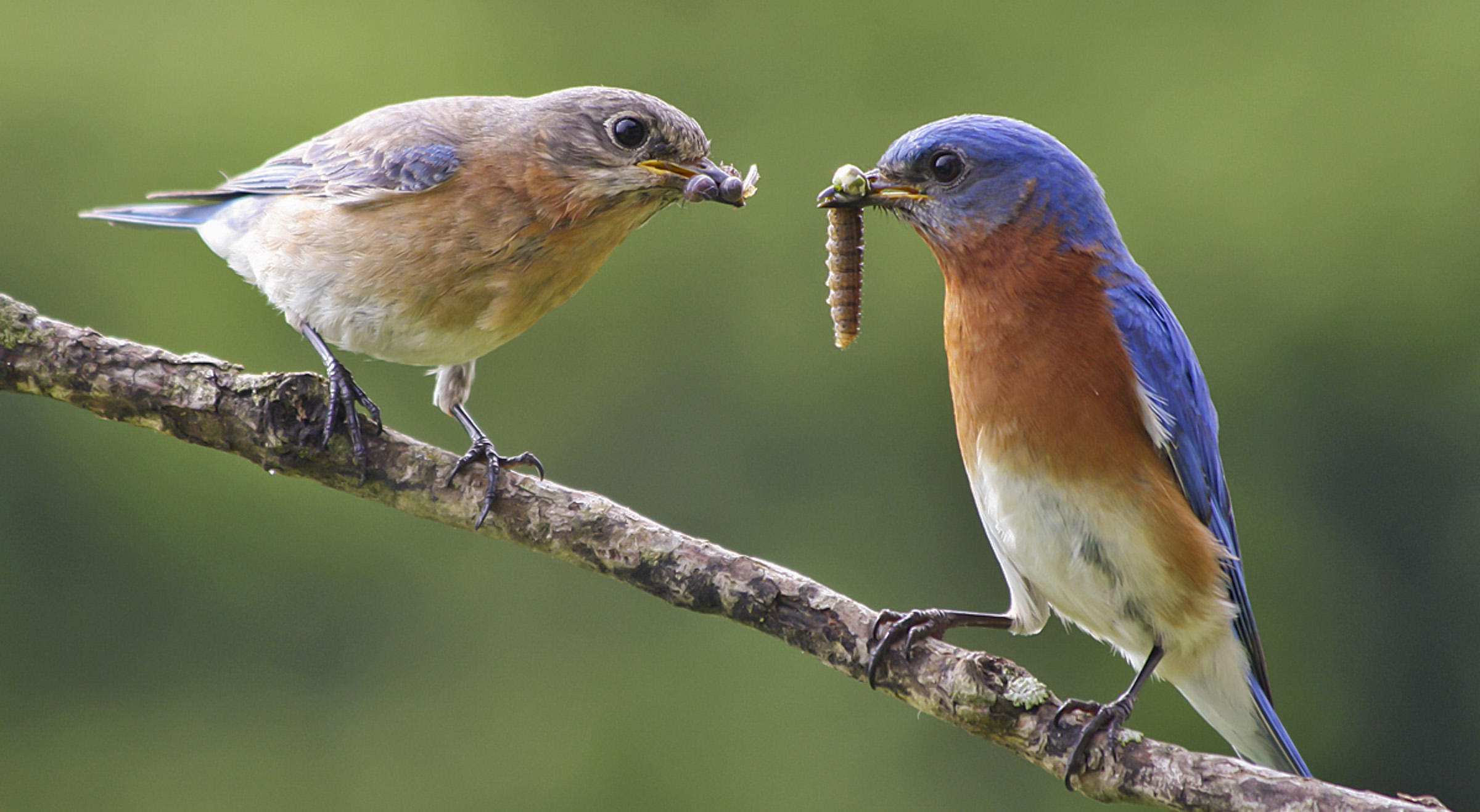 Eastern Bluebirds.