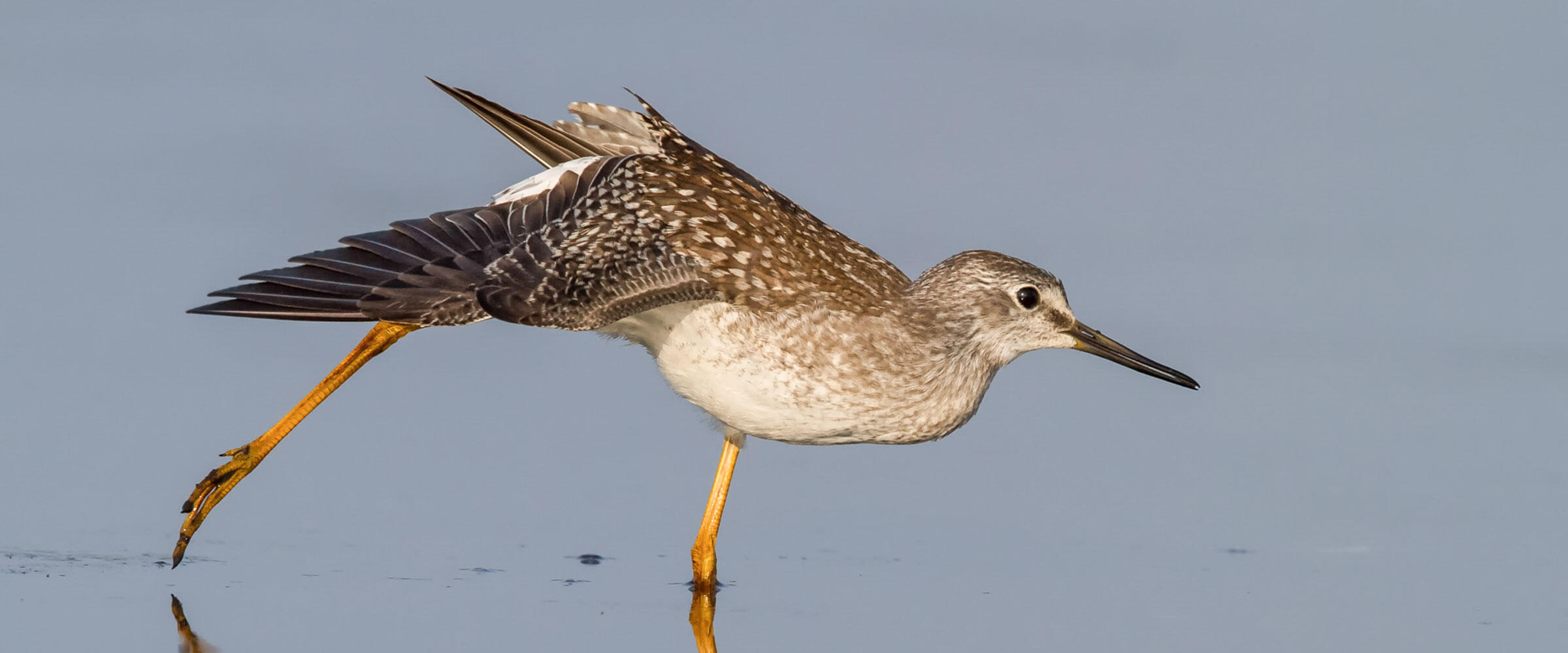 Lesser Yellowlegs stretches in a wetland.