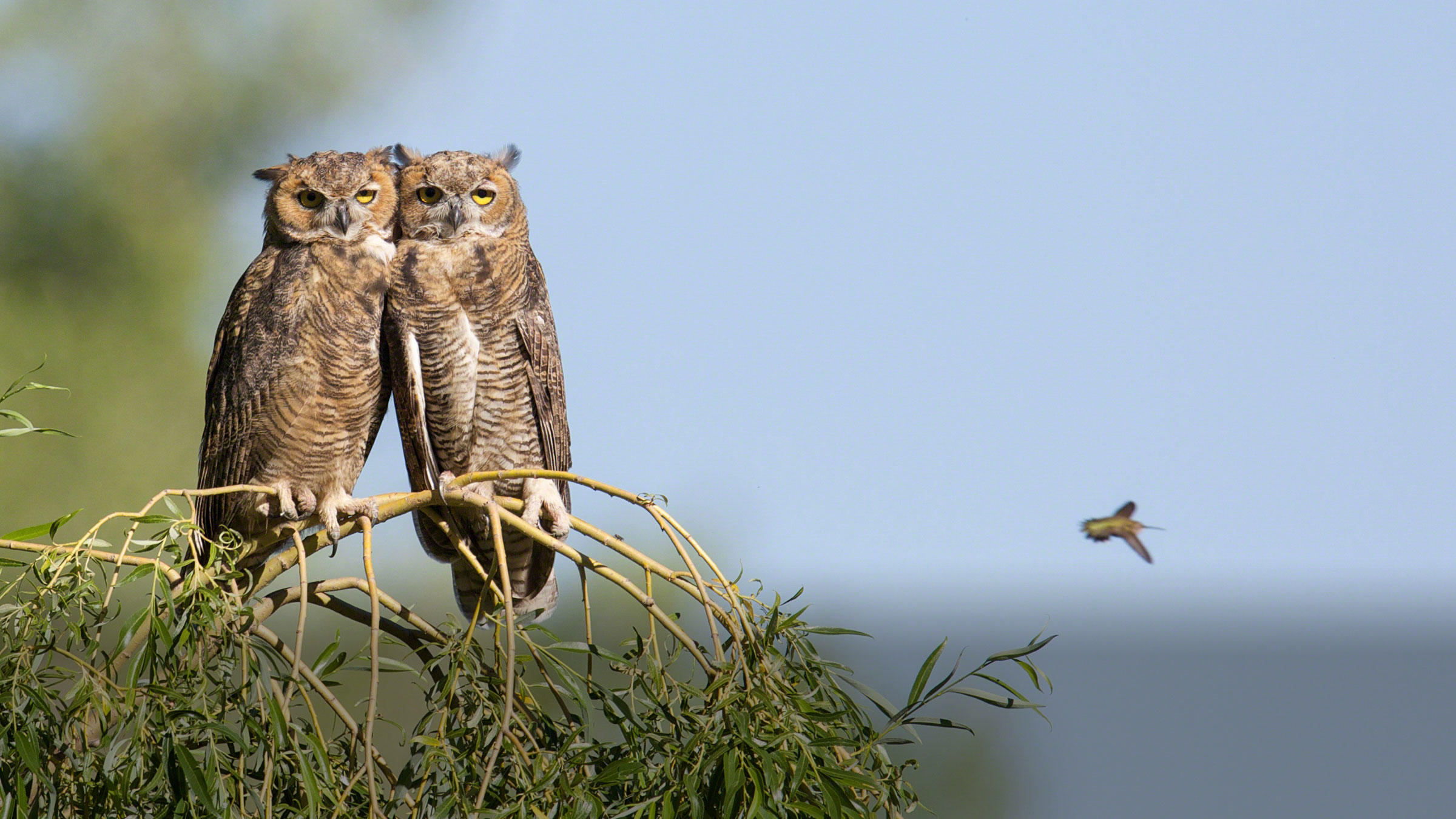 Great Horned Owls.