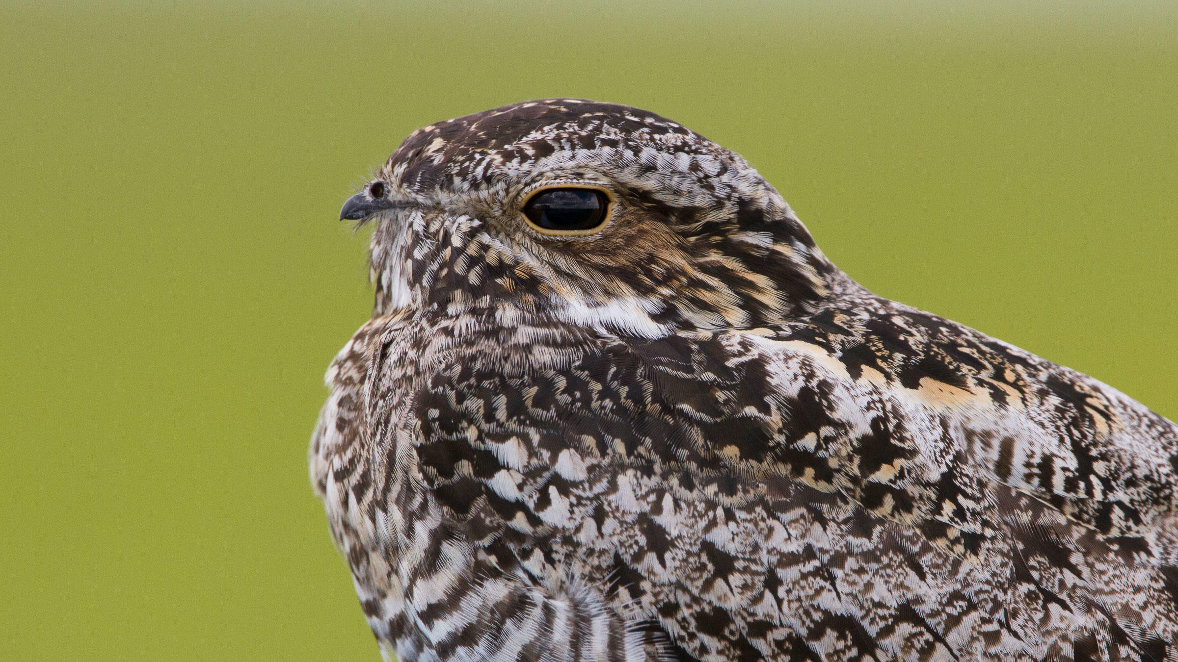 Common Nighthawk.
