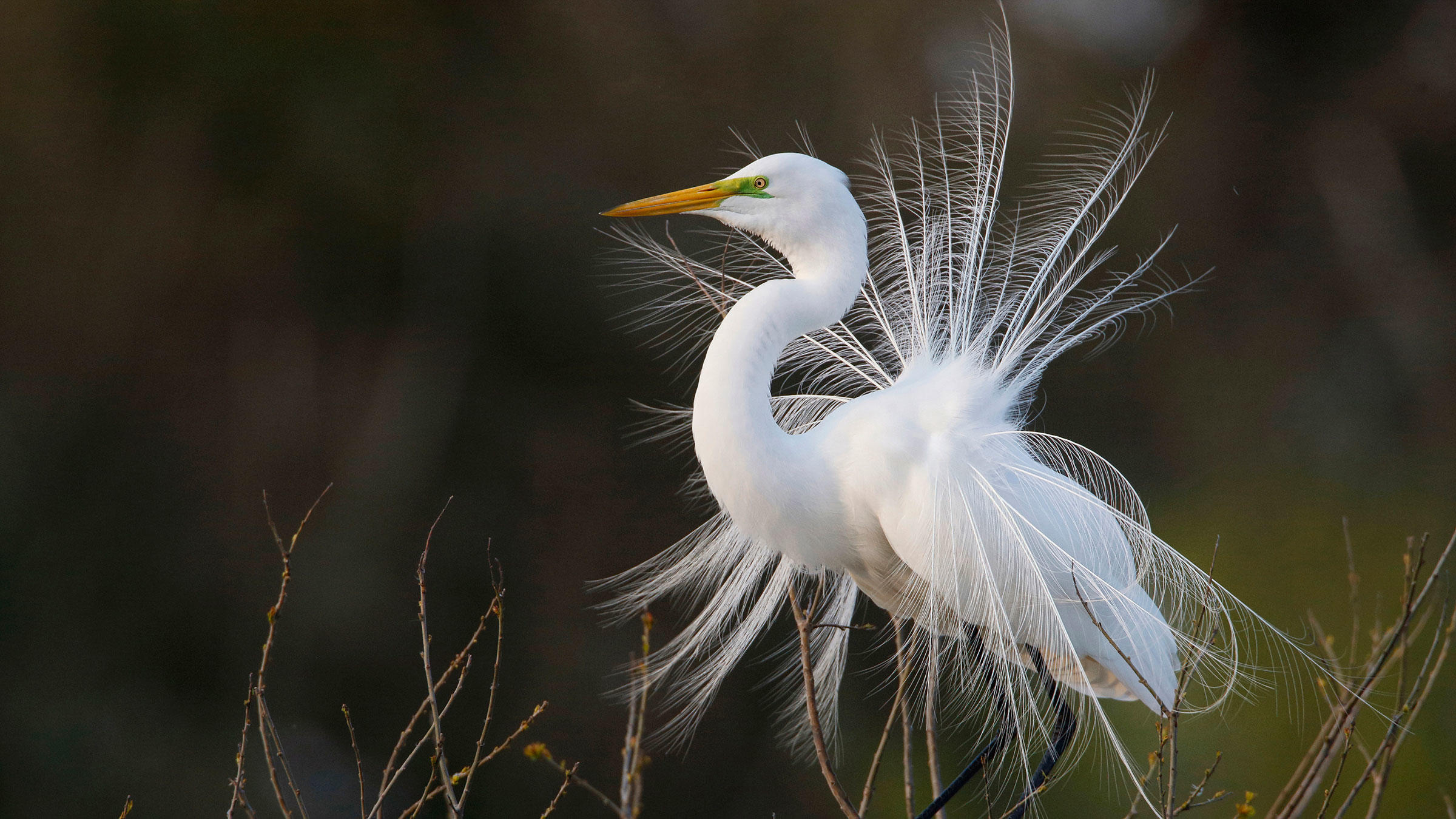 Great Egret displaying its breeding plumes.