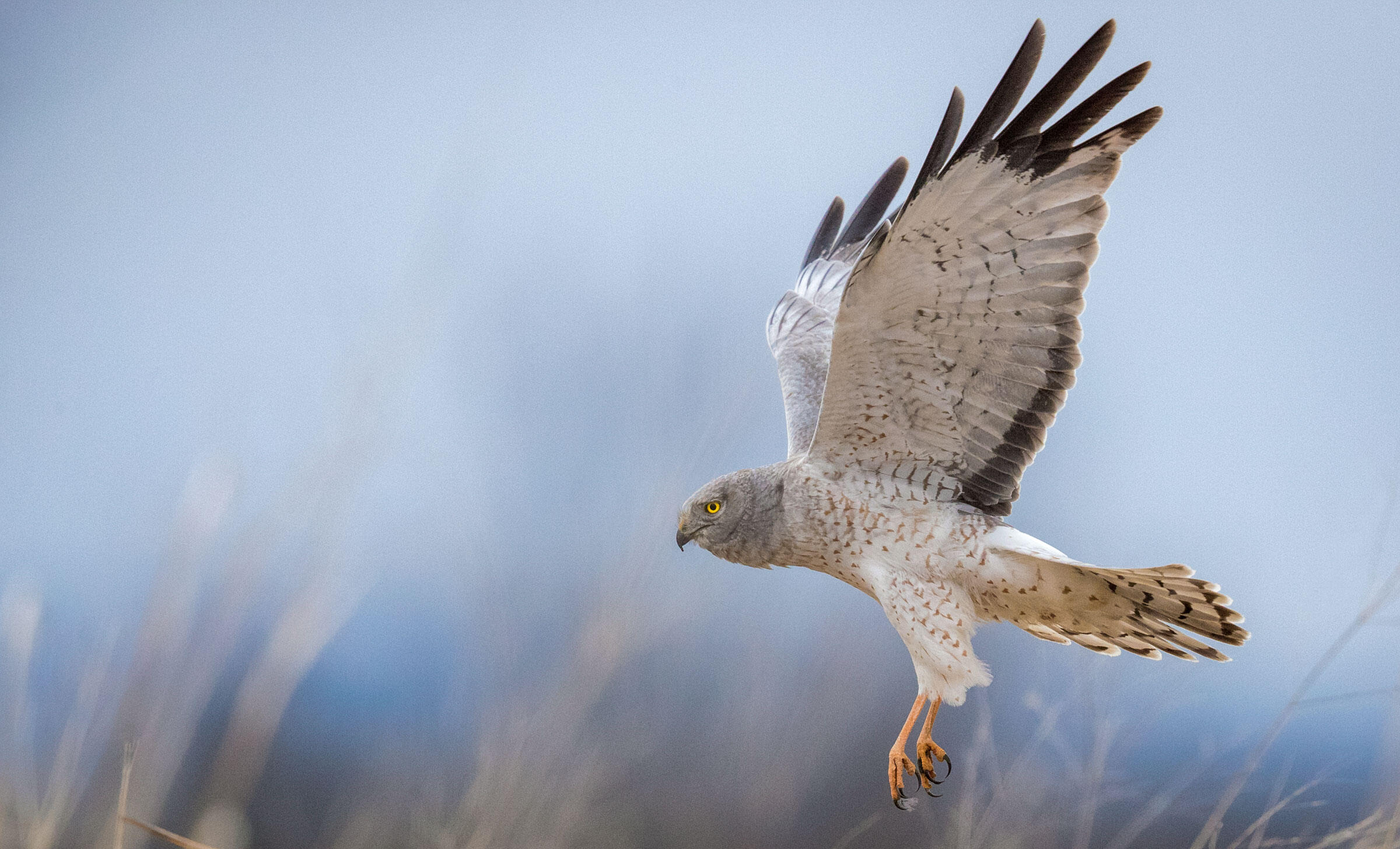 A Northern Harrier flies in the air.