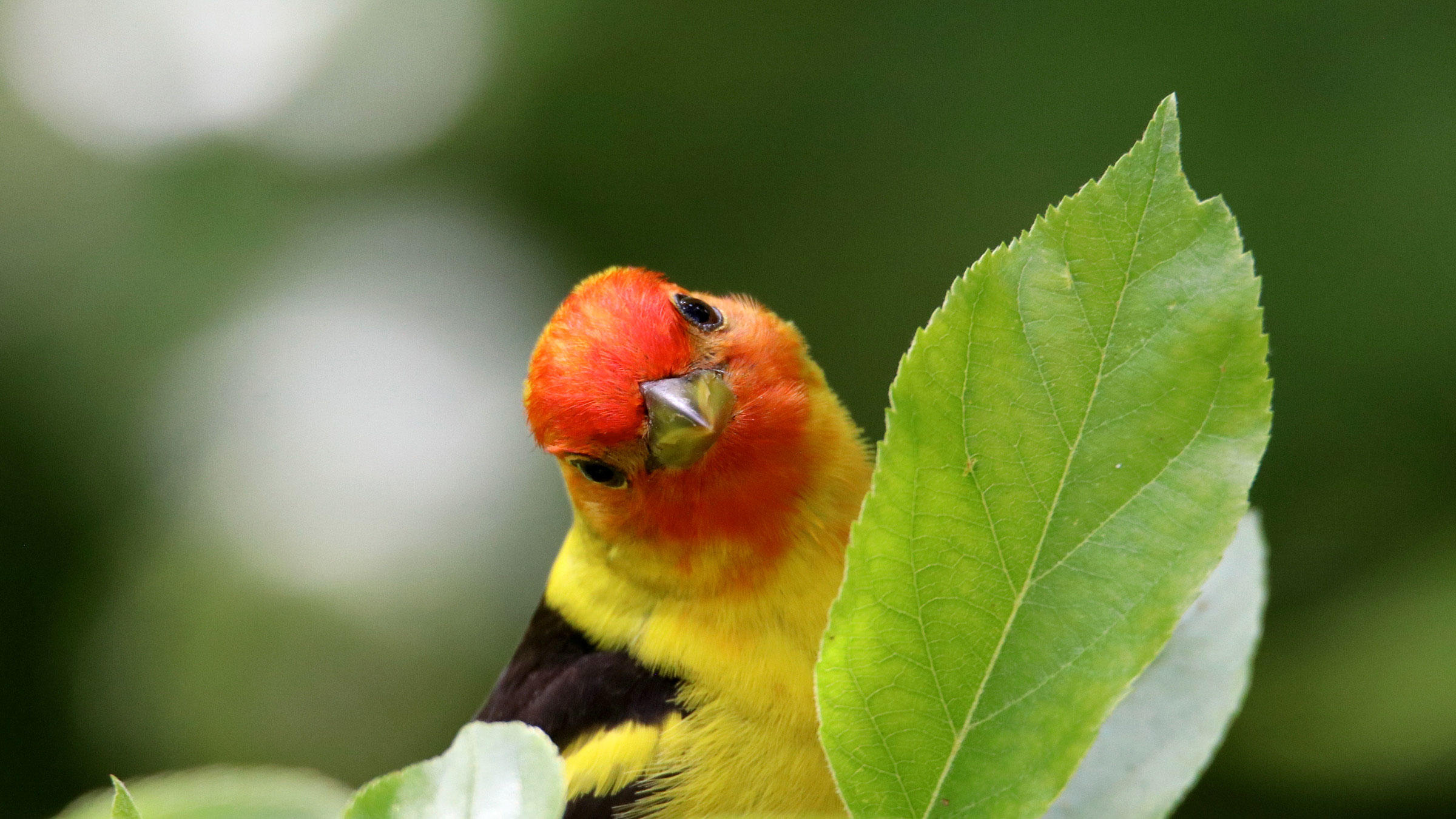 Closeup of a male Western Tanager. Photo: Janet Stevens/Audubon Photography Awards