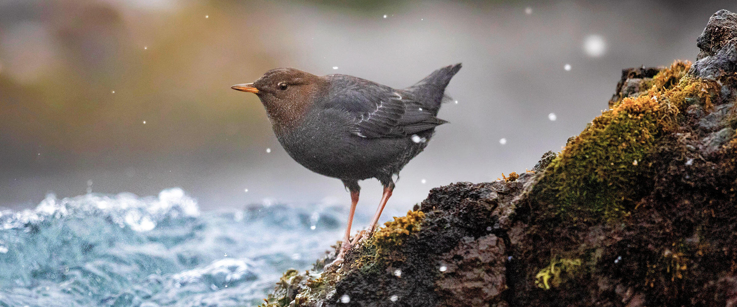 An American Dipper stands on a rock in a stream.