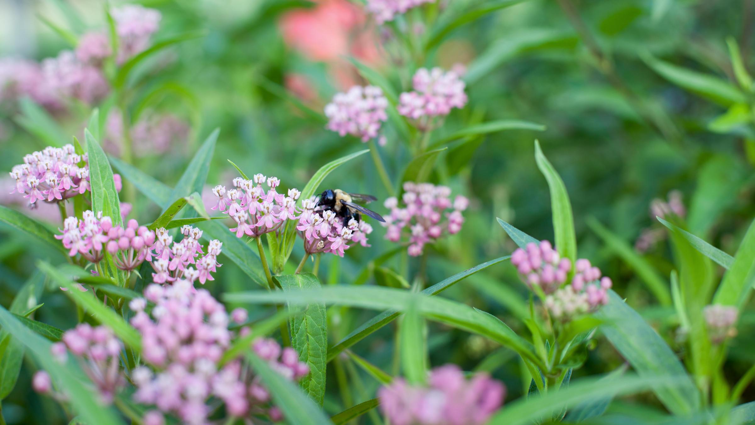 Bumblebee on swamp milkweed.