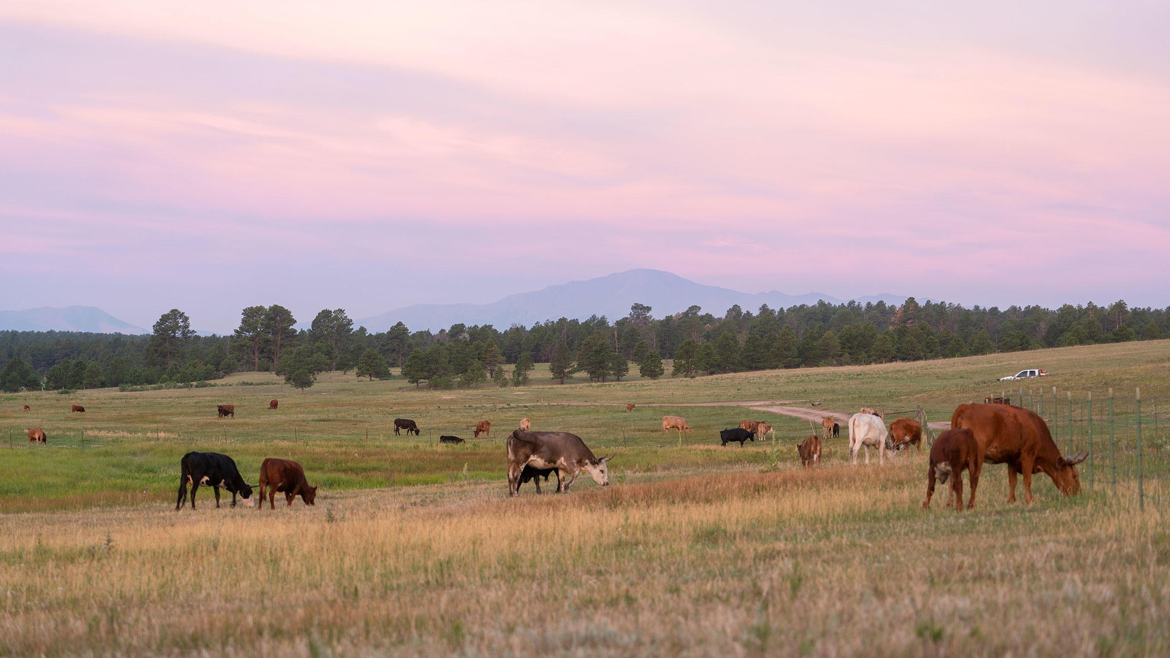 Cattle managed by Corner Post Meats grazing on Audubon's Kiowa Creek Ranch.