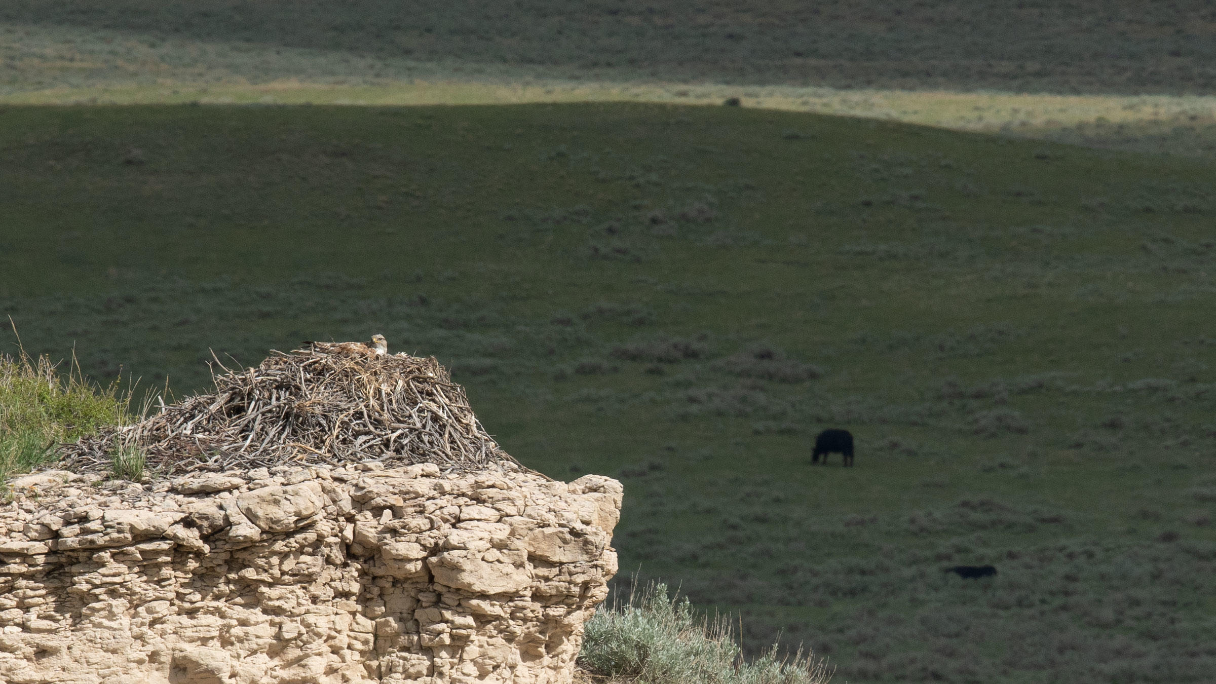 Ferruginous Hawk nesting on Rockin' 7 Ranch, certified by Audubon's Conservation Ranching Initiative.