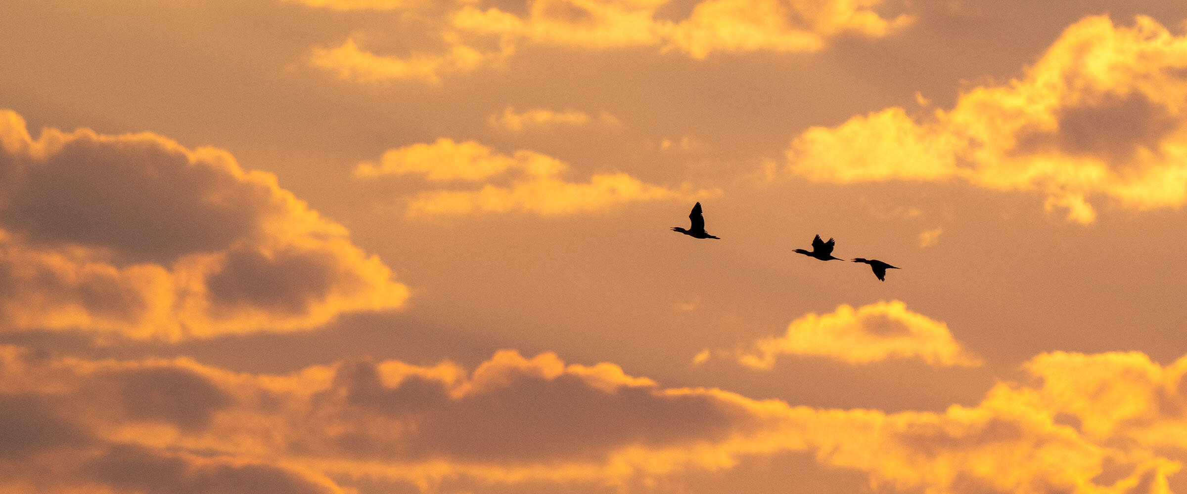 Three Double-crested Cormorants fly across a sky at sunset.