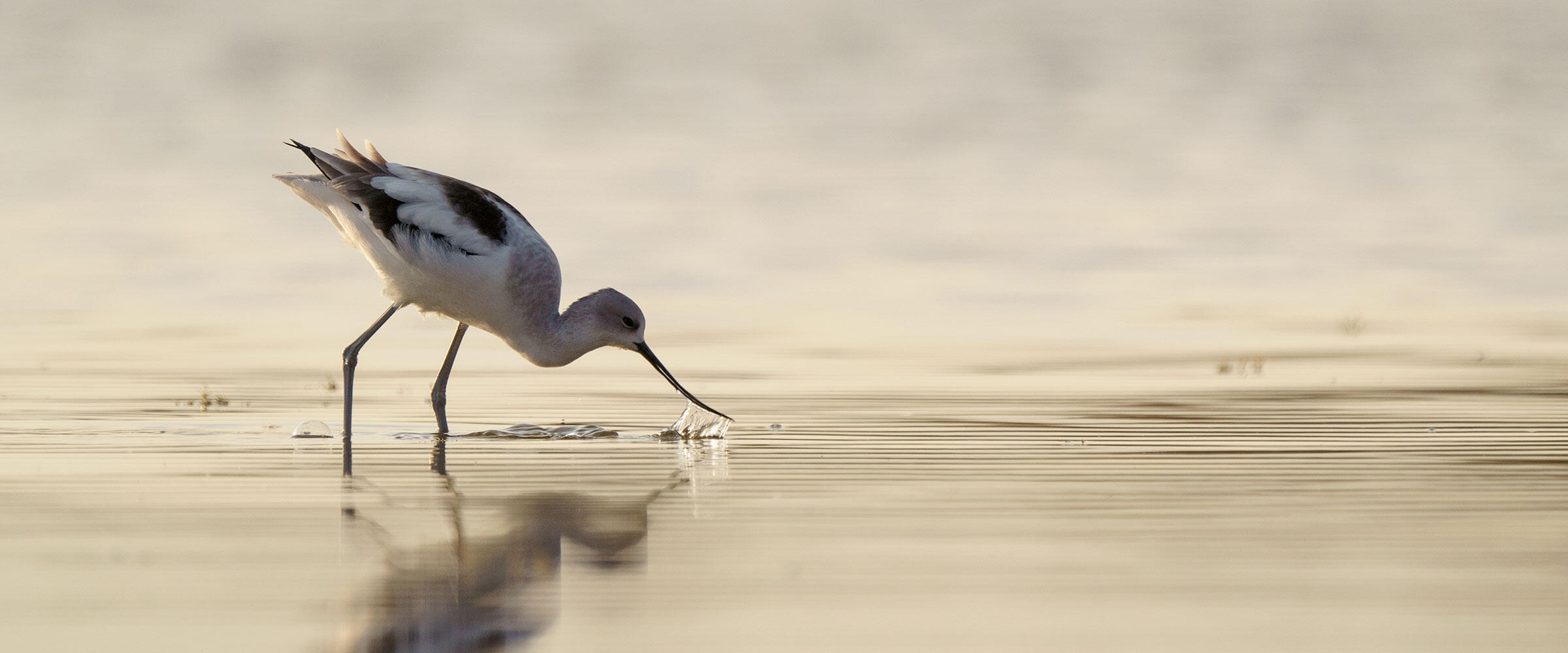 An American Avocet forages in a saline wetland.