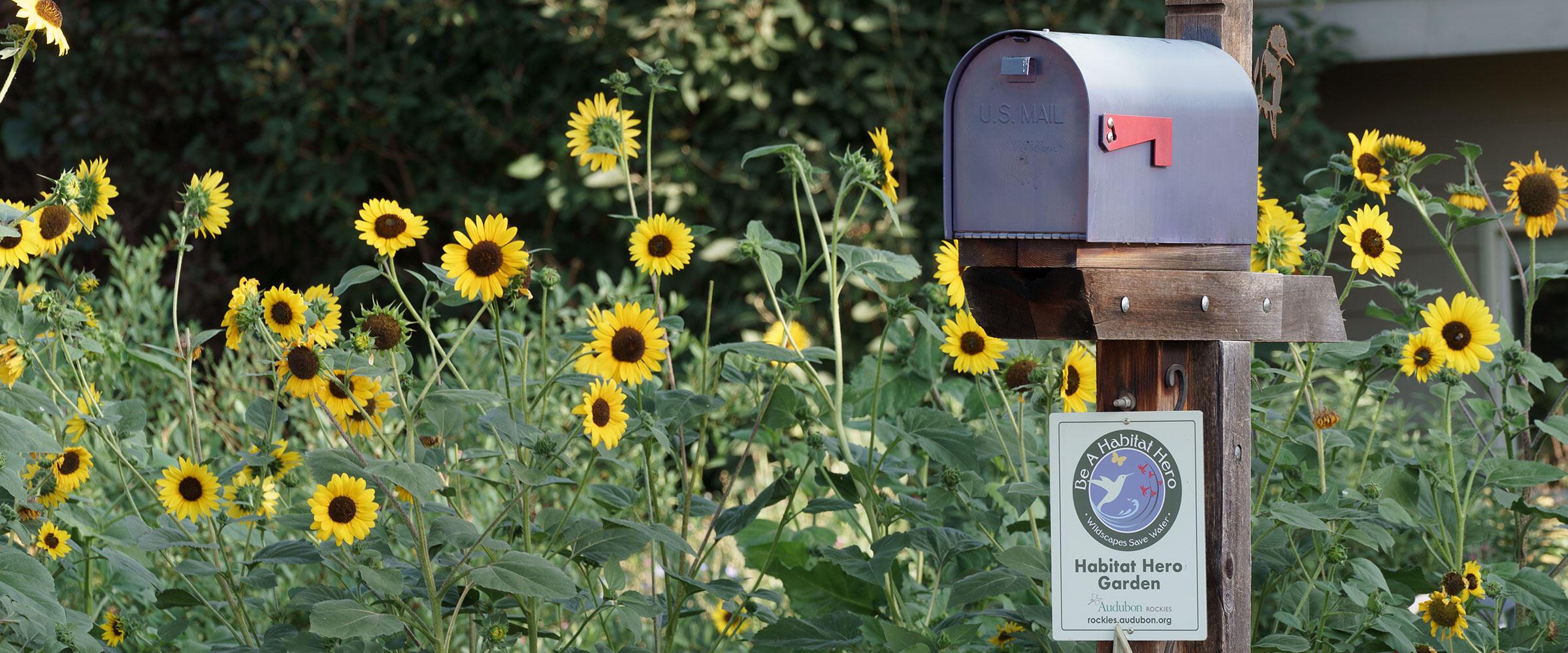 Sunflowers bloom in garden next to a Habitat Hero certification sign.
