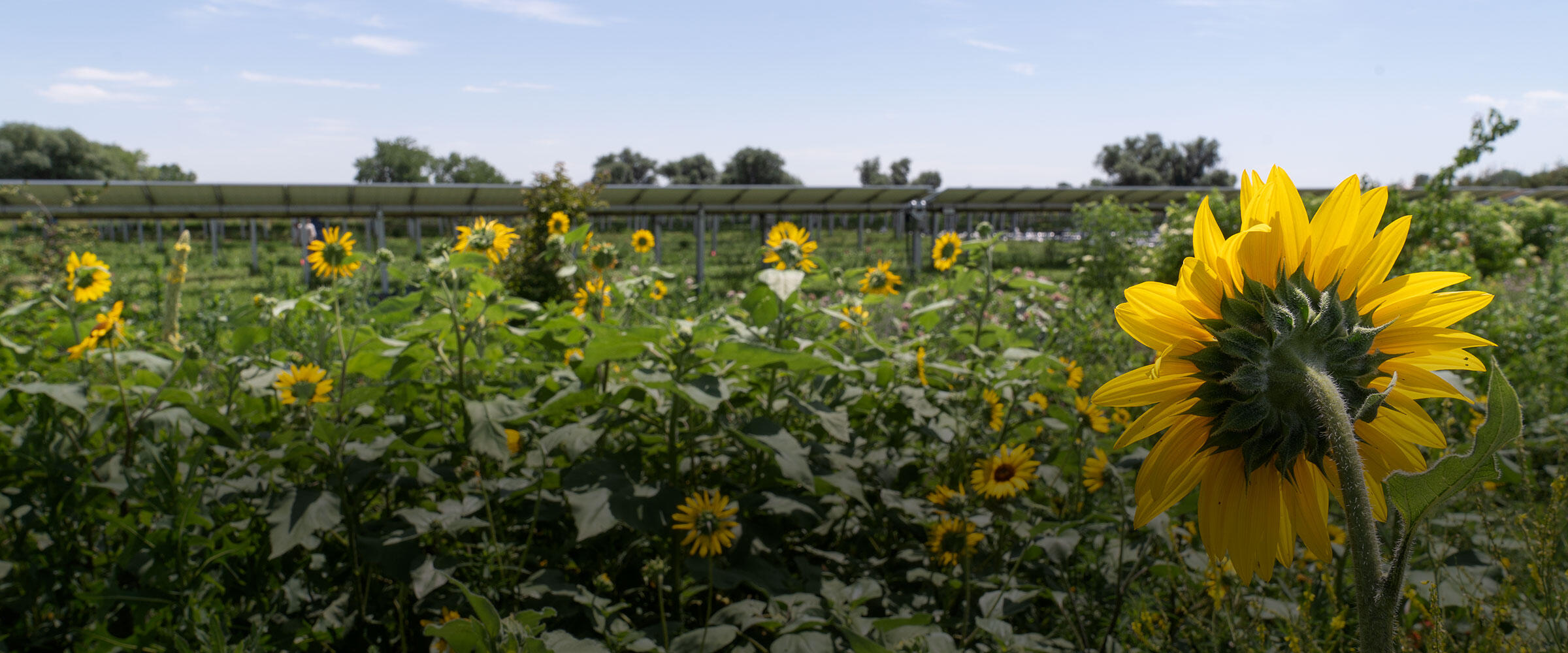 Annual sunflowers in the Habitat Hero garden at Jack's Solar Garden with solar panels in the background.
