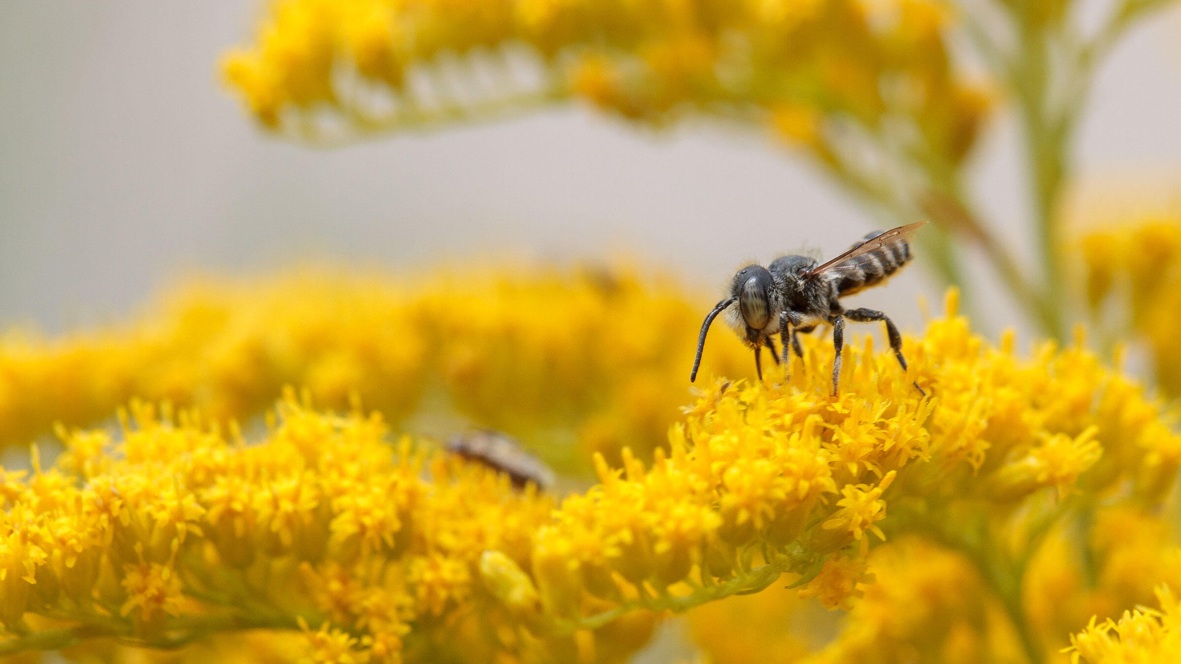 Leafcutter bee on native goldenrod flowers.