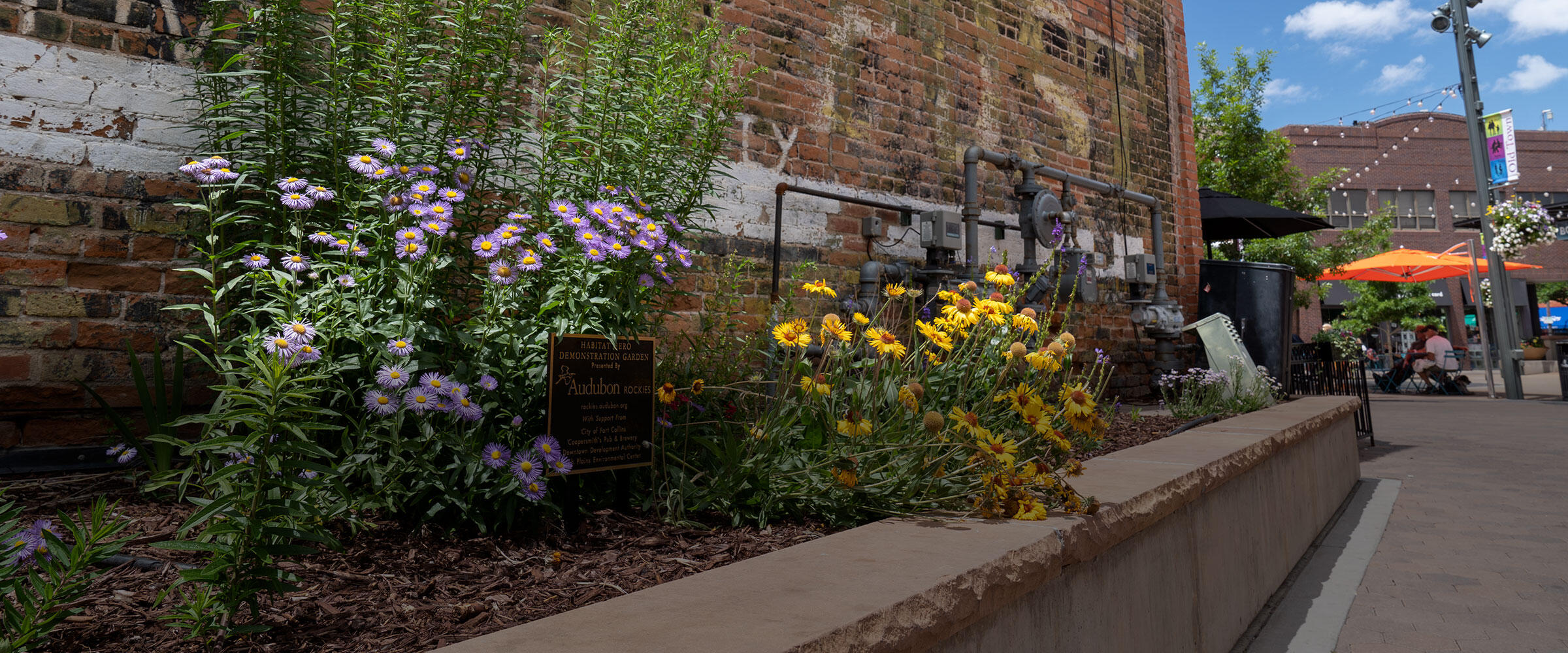 Asters and blanketflowers bloom in a garden in downtown Fort Collins.