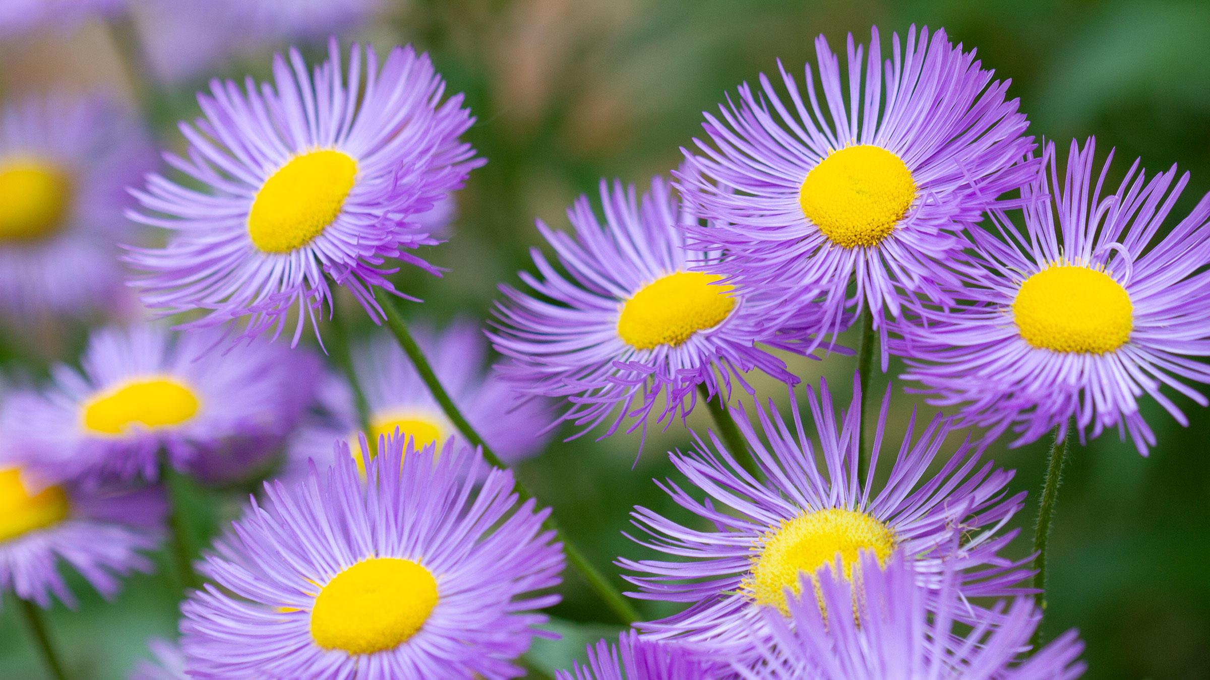Purple Symphyotrichum novae-angliae flowers.