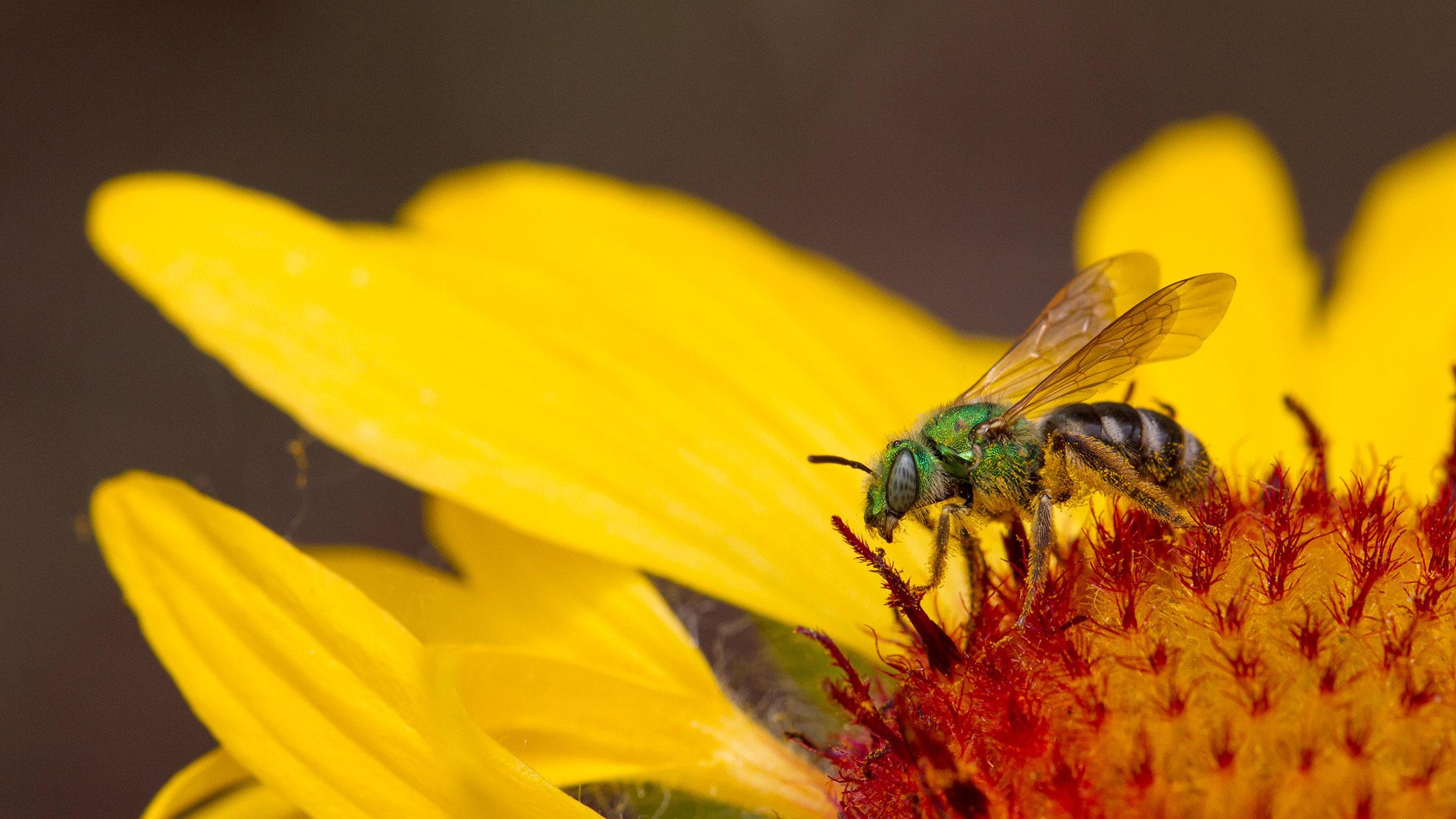 Native bee (Halactidae) on blanketflower (Gaillardia sp.) in the Fort Collins Old Town Habitat Hero garden.