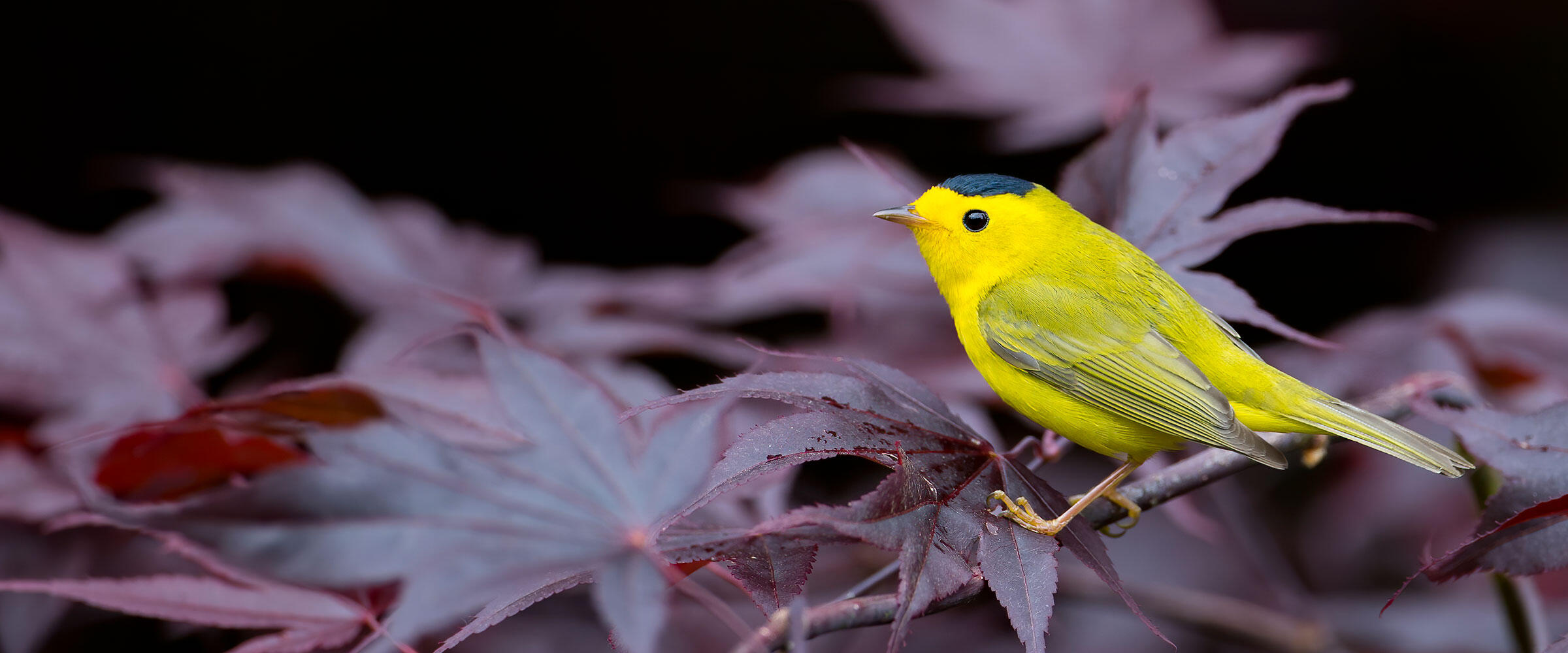 Wilson's Warbler perched on branch.