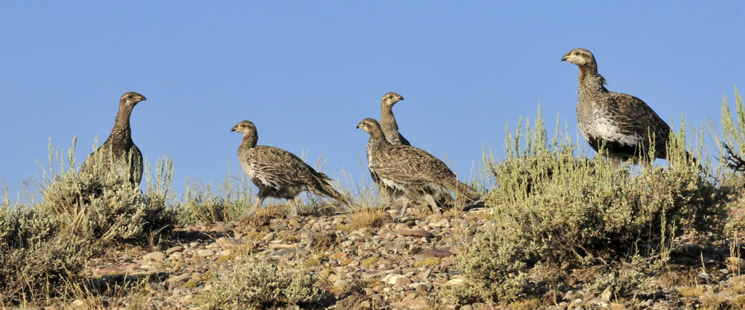 Greater Sage-Grouse family.
