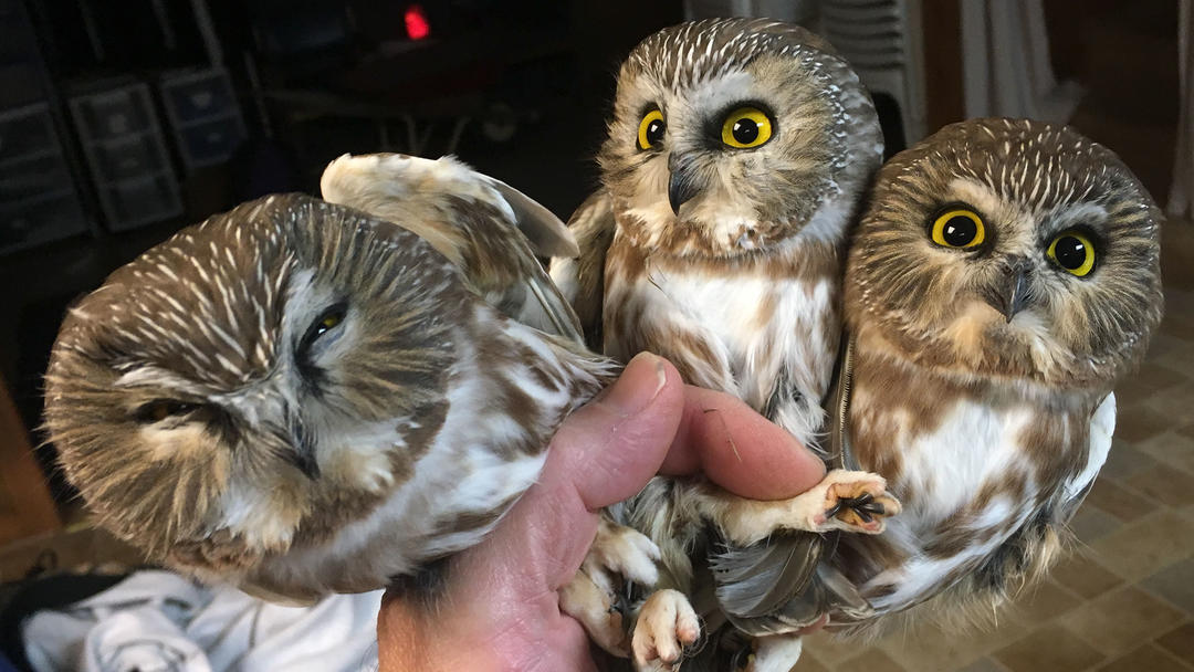 Northern Saw-Whet Owls.