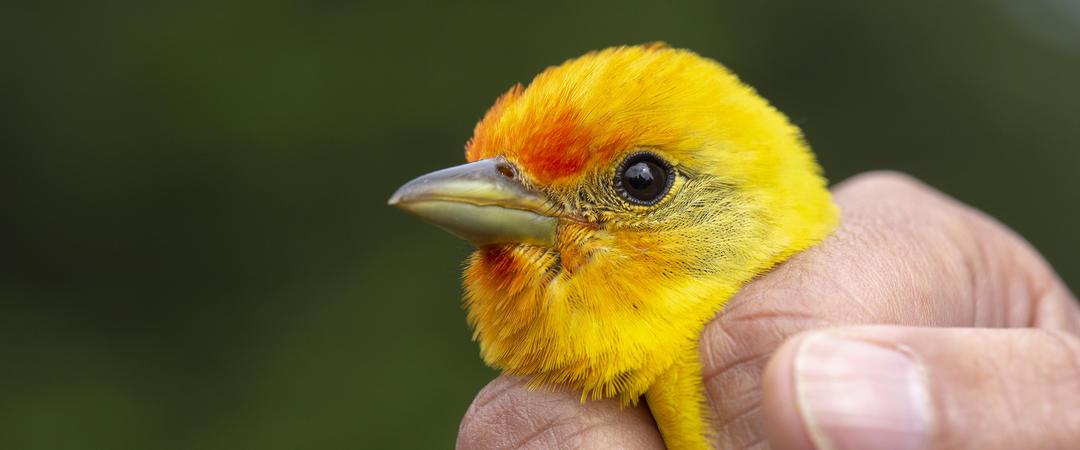 Western Tanager bird banding Audubon Rockies