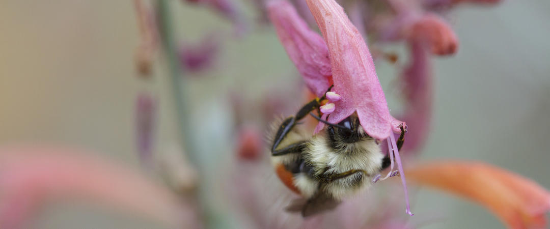 Bumble bee on threadleaf giant hyssop