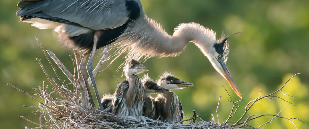 A Great Blue Heron stands over a nest with chicks.