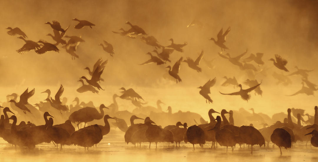 Sandhill Cranes and Northern Pintail