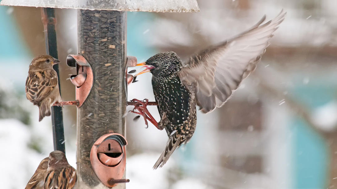 European Starling and House Sparrows.