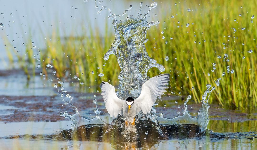 Least Tern. Photo credit: Doug German/Audubon Photography Awards