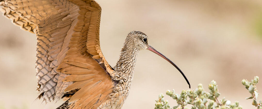 Long-billed Curlew flapping its wings.