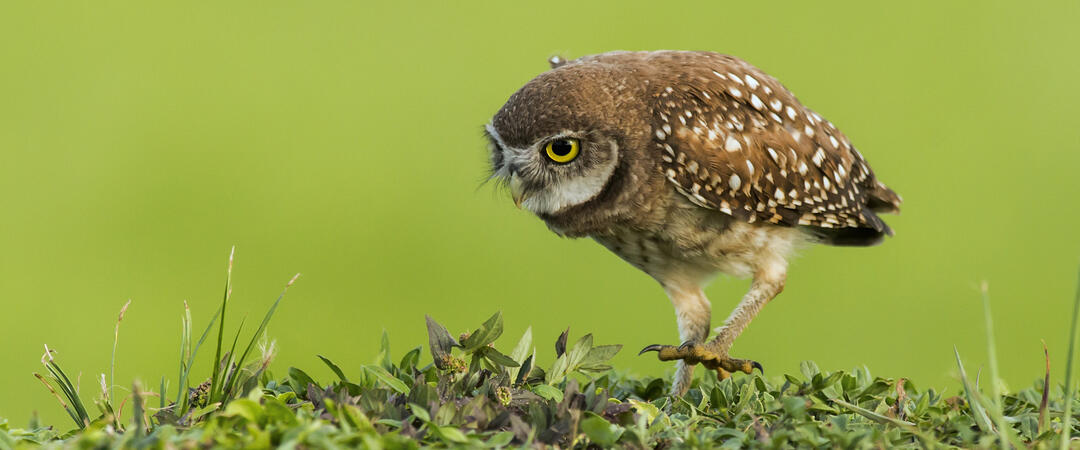 A Burrowing Owl walks on green vegetation.