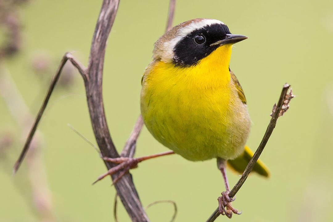 A Common Yellowthroat perches on a branch.