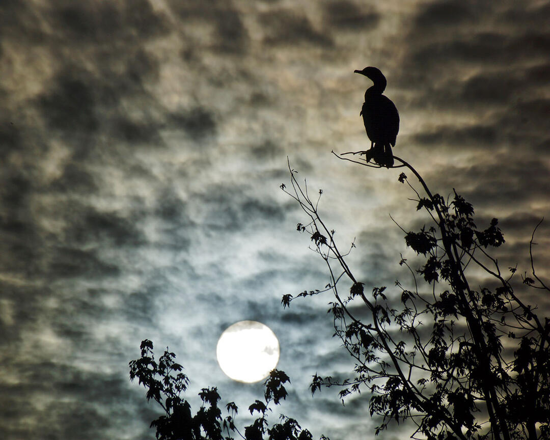 A Double-crested Cormorant perches in a tree at night, silhouetted by moonlit clouds.