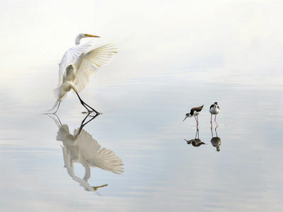 Great Egret and Black-necked Stilts.
