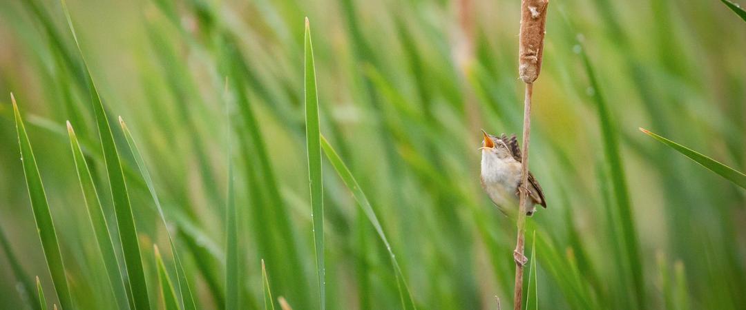 A Marsh Wren sings from a cattail.